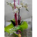 Orquídea de dos varas